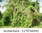 polygonaceae   polygonaceae  on ...   Shutterstock . vector #1170766942
