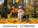 aussie  the australian shepherd ... | Shutterstock . vector #1170860302