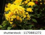 dahlia 'kelvin floodlight'... | Shutterstock . vector #1170881272