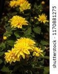 dahlia 'kelvin floodlight'... | Shutterstock . vector #1170881275