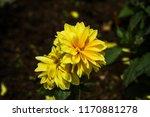 dahlia 'kelvin floodlight'... | Shutterstock . vector #1170881278