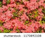 beautiful spike flower blooming ... | Shutterstock . vector #1170892108