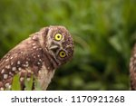 Stock photo funny burrowing owl athene cunicularia tilts its head outside its burrow 1170921268