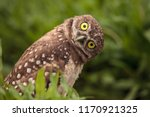 Stock photo funny burrowing owl athene cunicularia tilts its head outside its burrow 1170921325
