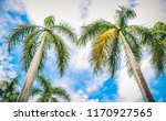 beauty of the royal palm tree...   Shutterstock . vector #1170927565