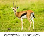A  Thomson's Gazelle Bull. It...