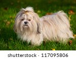 Shih Tzu Dog On Grass.