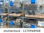 c57bl 6 mice in the ivc cage to ...   Shutterstock . vector #1170968968