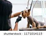 Stock photo dog grooming at pet salon funny dog getting haircut 1171014115