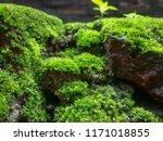 moss covered on a brick wall. | Shutterstock . vector #1171018855