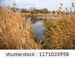 golden autumn reeds. bright...   Shutterstock . vector #1171023958