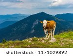 cow lying on mountain valley...   Shutterstock . vector #1171029892