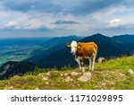 cow lying on mountain valley... | Shutterstock . vector #1171029895