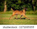 beautiful belgian malinois dog... | Shutterstock . vector #1171035355