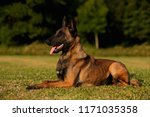 beautiful belgian malinois dog... | Shutterstock . vector #1171035358