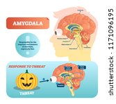 amygdala medical labeled vector ... | Shutterstock .eps vector #1171096195