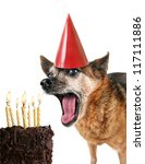 a cute chihuahua with birthday cake and a party hat on - stock photo