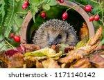 hedgehog  native  wild ...   Shutterstock . vector #1171140142