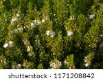 myrtus communis  the common... | Shutterstock . vector #1171208842