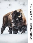 Small photo of An American Bison holds steadfast on a blustery winter day inside Yellowstone National Park