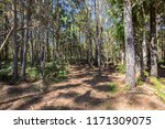 pine tree in temperate... | Shutterstock . vector #1171309075