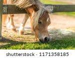 Pony Horse Feeding With Grass