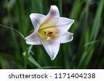beautiful wildflower at banaue  ...   Shutterstock . vector #1171404238