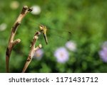 dragonfly on a branch. macro... | Shutterstock . vector #1171431712