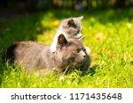 Stock photo family of cats outdoor cat with the baby kitten on grass cat hugs kitten cat plays kitten 1171435648