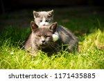 Stock photo family of cats outdoor cat with the baby kitten on grass cat hugs kitten cat plays kitten 1171435885