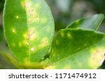 lemon leaf disease | Shutterstock . vector #1171474912