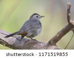 the gray catbird  dumetella... | Shutterstock . vector #1171519855
