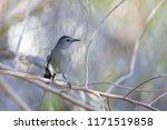 the gray catbird  dumetella... | Shutterstock . vector #1171519858