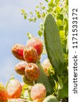 fresh and ripe prickly pear ...   Shutterstock . vector #1171533172