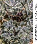 Echeveria Elegans Succulent...