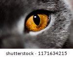 Scottish Cat's Eye Close Up