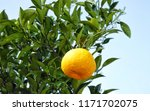 mandarin on a branch  blue sky. | Shutterstock . vector #1171702075