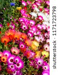 a lot of mix livingstone daisy  ...   Shutterstock . vector #1171723798