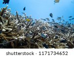 staghorn coral reef and... | Shutterstock . vector #1171734652