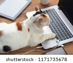 Stock photo cat playing a laptop computer or notebook on wooden table it s seeing at monitor of laptop 1171735678
