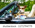 jack russell dog in a car close ... | Shutterstock . vector #1171794775