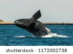 whale jumping in peninsula... | Shutterstock . vector #1172002738