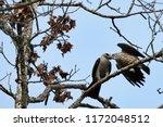 Adult Mississippi Kite Feeding...