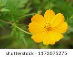 yellow cosmos or cosmos... | Shutterstock . vector #1172075275