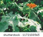 beautiful spike flower red... | Shutterstock . vector #1172103565