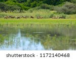 Pack Of Wild Dogs Hunting In...