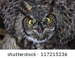 Great Horned Owl Close Up Shot...