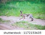 Stock photo european hare lepus europaeus running in its natural habitat close up 1172153635