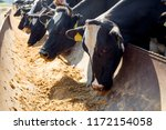cow milking facility and... | Shutterstock . vector #1172154058