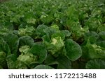 lush green cabbage field in... | Shutterstock . vector #1172213488
